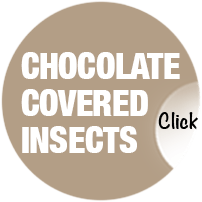Chocolate Covered Bugs