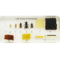 Life Cycle of the Honey Bee