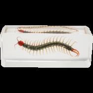Venomous Centipede