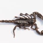 edible-emperor-scorpion