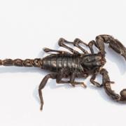 Edible Emperor Scorpion
