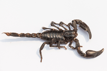 Edible Emperor Scorpion