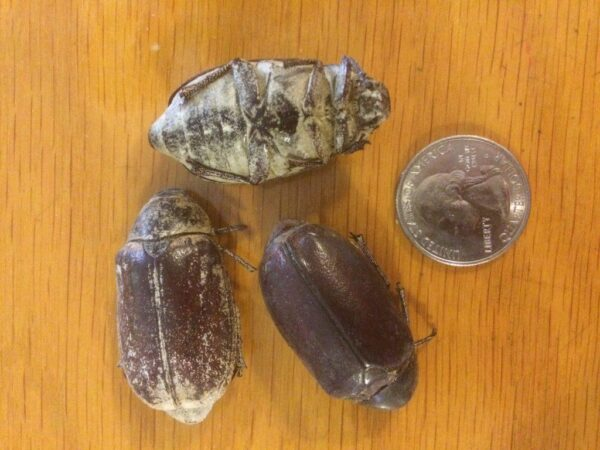 Edible Scarab Beetles