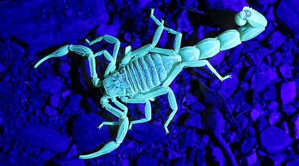 Scorpions Glow